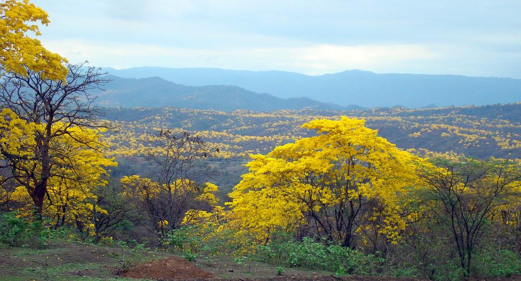 Loja Florecimiento Guayacanes Bosque Seco